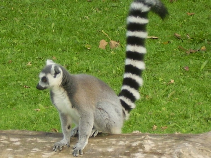 Mammalia , 6 Ring Tailed Lemur Facts : Ring Tailed Lemur