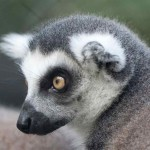 ring tailed lemur face , 6 Ring Tailed Lemur Facts In Mammalia Category