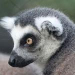 ring tailed lemur face , 6 Ring Tailed Lemur Facts In Mammalia Category
