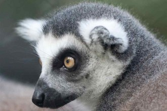 ring tailed lemur face in Plants
