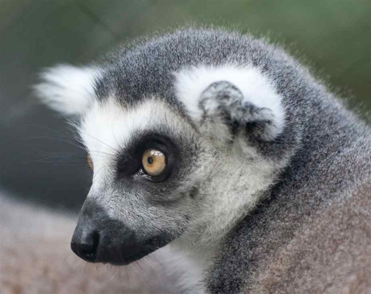 Mammalia , 6 Ring Tailed Lemur Facts : Ring Tailed Lemur Face