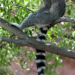 ring tailed lemur fun facts , 6 Ring Tailed Lemur Facts In Mammalia Category