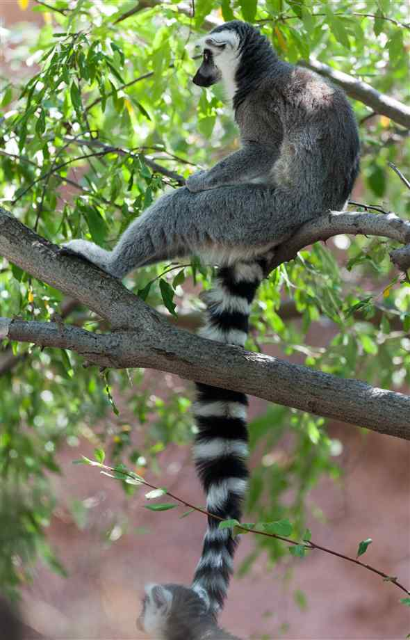 Mammalia , 6 Ring Tailed Lemur Facts : Ring Tailed Lemur Fun Facts
