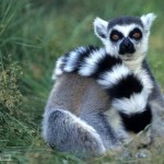 ring tailed lemur , 6 Ring Tailed Lemur Facts In Mammalia Category