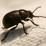 round black beetle , 6 Big Beetle Bugs In Bug Category