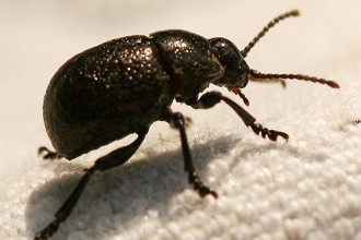 round black beetle in Invertebrates