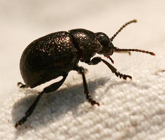 Bug , 6 Big Beetle Bugs : Round Black Beetle