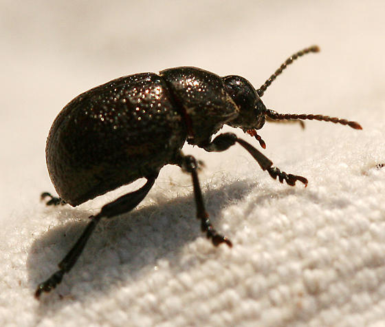 round black beetle