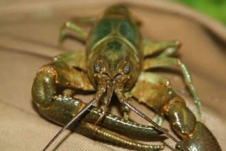 Rusty Crayfish Images , 6 Crayfish Images In Decapoda Category