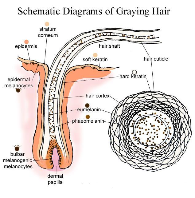 Organ , 8 Structure Hair Follicle Pictures : Schematic Diagrams Of Graying Hair