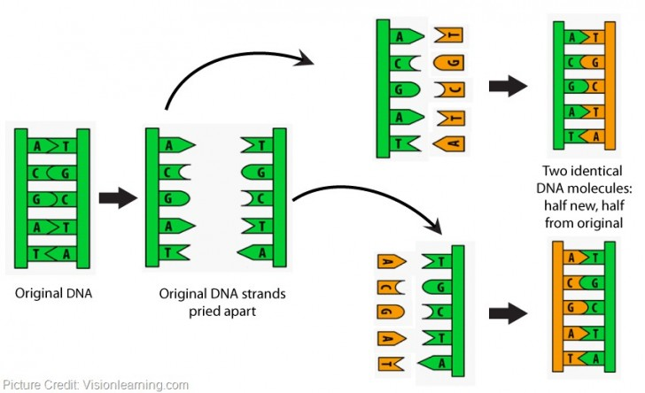 Cell , 5 Animation On Dna Replication : Simple Dna Replication Animation