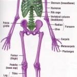 skeletal system label picture , 6 Skeletal System With Labels In Skeleton Category