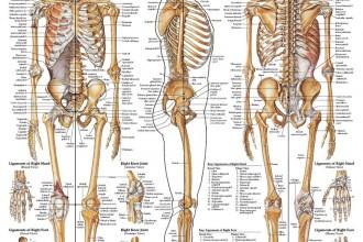 Skeletal System Study Guide Worksheet , 6 Skeletal System Study Guide In Skeleton Category