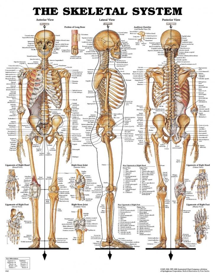 Skeletal System Study Guide Worksheet   Biological Science Picture Directory  U2013 Pulpbits Net