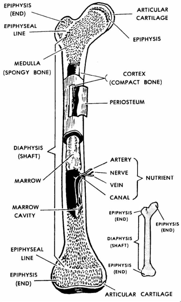 Skeleton , 6 Skeletal System Study Guide : Skeletal System