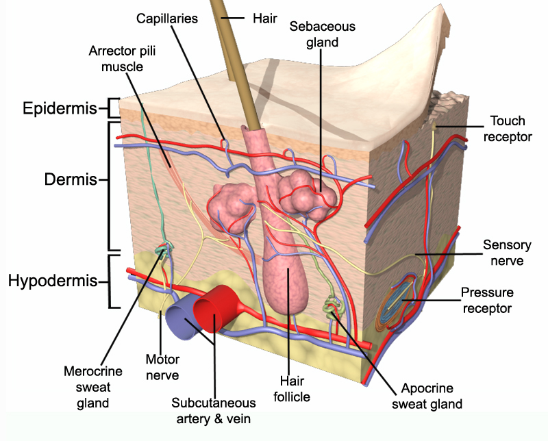 Skin Anatomy : 6 Diagrams Of Structure And Function Of The Skin ...