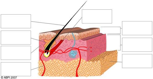 Organ , 4 Structure Of Skin Quiz : Skin Blank Labelled