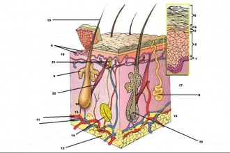 skin diagram quiz in Organ