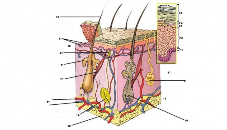 Organ , 4 Structure Of Skin Quiz : Skin Diagram Quiz