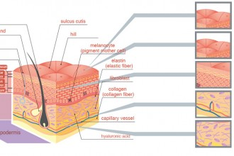 Skin Structure Labels , 6 Diagrams Of Structure And Function Of The Skin In Organ Category