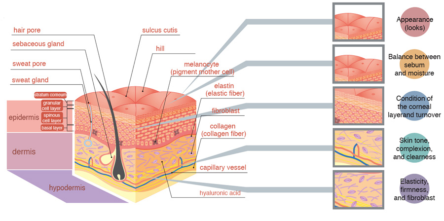Worksheets Skin Structure Diagram To Label skin structure labels 6 diagrams of and function organ the labels