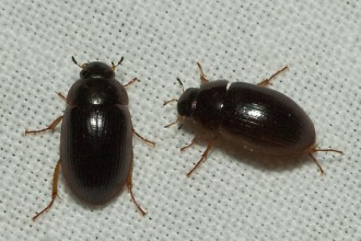 small black beetle in Beetles