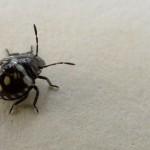 small black beetle like bug , 6 Small Black Beetle Like Bugs In Bug Category