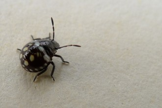 small black beetle like bug in Dog