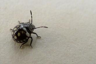 small black beetle like bug in Biome