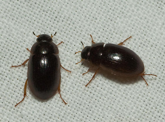 Tiny black beetles in bathroom