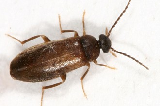 Small Brown Beetle , 6 Brown Beetle Bugs In Bug Category