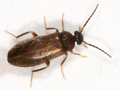 Bug , 6 Brown Beetle Bugs : Small Brown Beetle