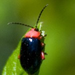 small red and blue beetle , 5 Red Beetle Bug Pictures In Bug Category