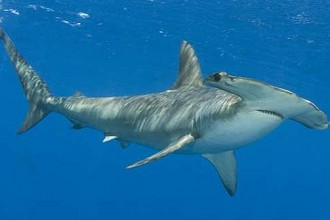 Smooth Hammerhead Shark , 6 Facts About Hammerhead Sharks In pisces Category