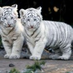 snow tiger cubs , 6 Snow Tigers Facts In Mammalia Category