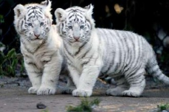 snow tiger cubs in Muscles