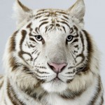 snow tigers , 6 Snow Tigers Facts In Mammalia Category