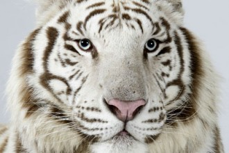 snow tigers in Scientific data