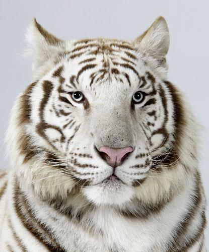 Mammalia , 6 Snow Tigers Facts : Snow Tigers