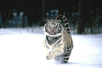 Snow White Tiger Habitat , 6 Snow Tigers Facts In Mammalia Category