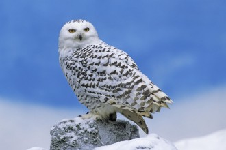 snowy owl facts and information in Birds