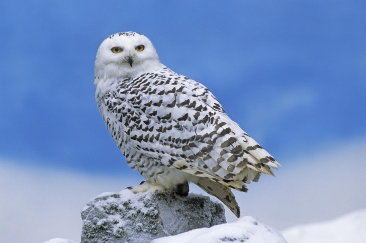 Birds , 6 Snowy Owl Facts : Snowy Owl Facts And Information