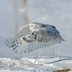 snowy owl facts photos , 6 Snowy Owl Facts In Birds Category