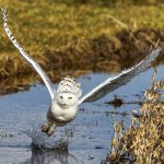 snowy owl flight , 4 Snowy Owl Facts For Kids In Birds Category