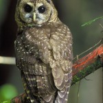spotted owl picture , 7 Owl Pictures In Birds Category
