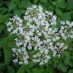 stinging nettle leaf benefit , 6 Stinging Nettle Leaf Benefits In Plants Category