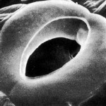 stomata picture , 6 Plant Stomata Structure Pictures In Plants Category