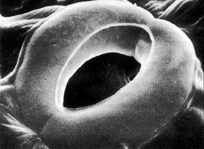 Plants , 6 Plant Stomata Structure Pictures : Stomata Picture
