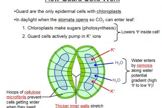 Stomata Structure Guard Cells , 6 Plant Stomata Structure Pictures In Plants Category