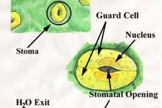 structure stomata in Butterfly